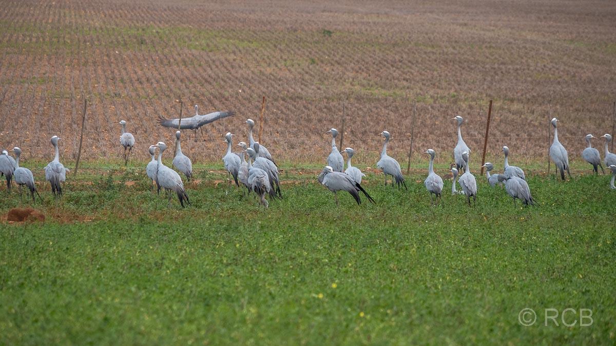 Paradieskraniche, Südafrikas Nationalvögel, im De Hoop Nature Reserve