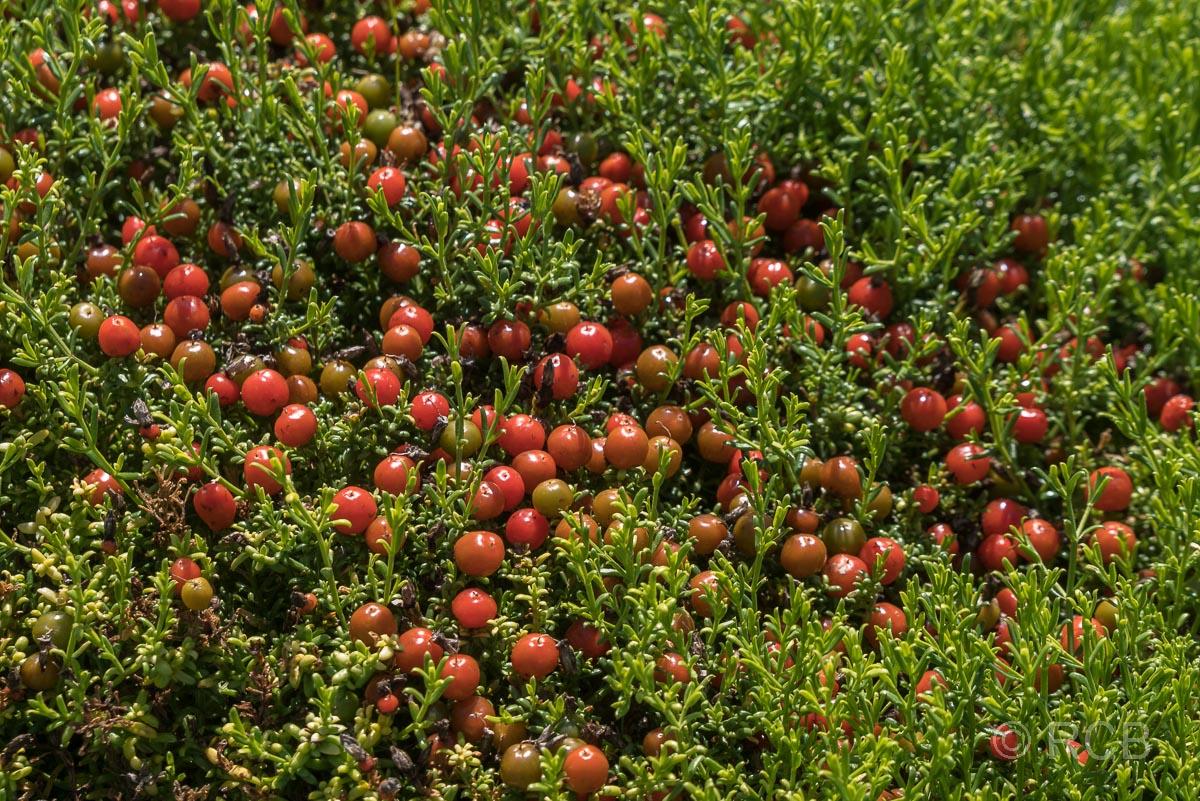 Beerenfrüchte am Rasperpunt Hiking Trail, Agulhas National Park