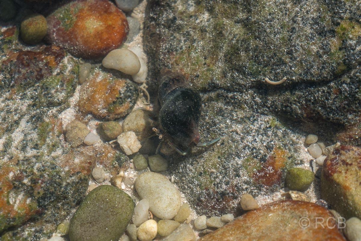 Einsiedlerkrebs im Wasser, Rasperpunt, Agulhas National Park