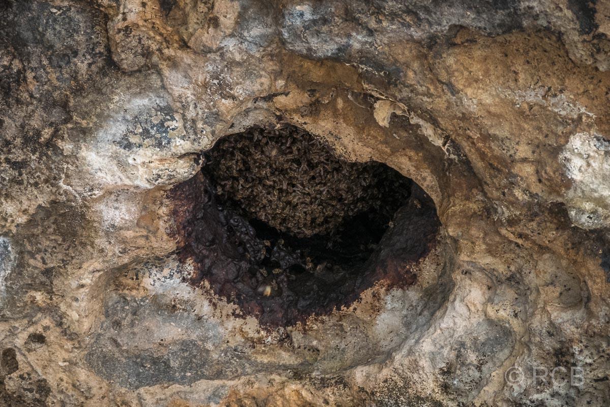 Bienenkolonie in der felsigen Decke der Klipgat Cave