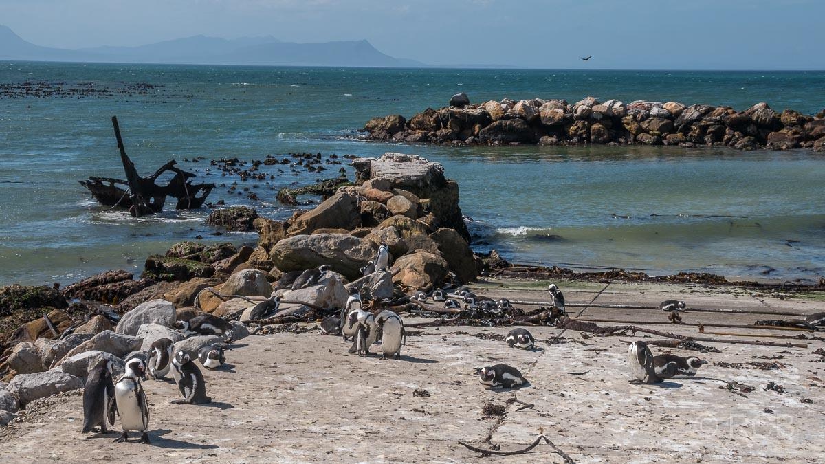 Pinguinkolonie, Stony Point Nature Reserve