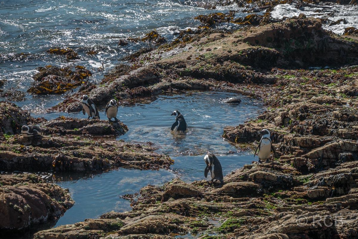 Brillenpinguine, Stony Point Nature Reserve