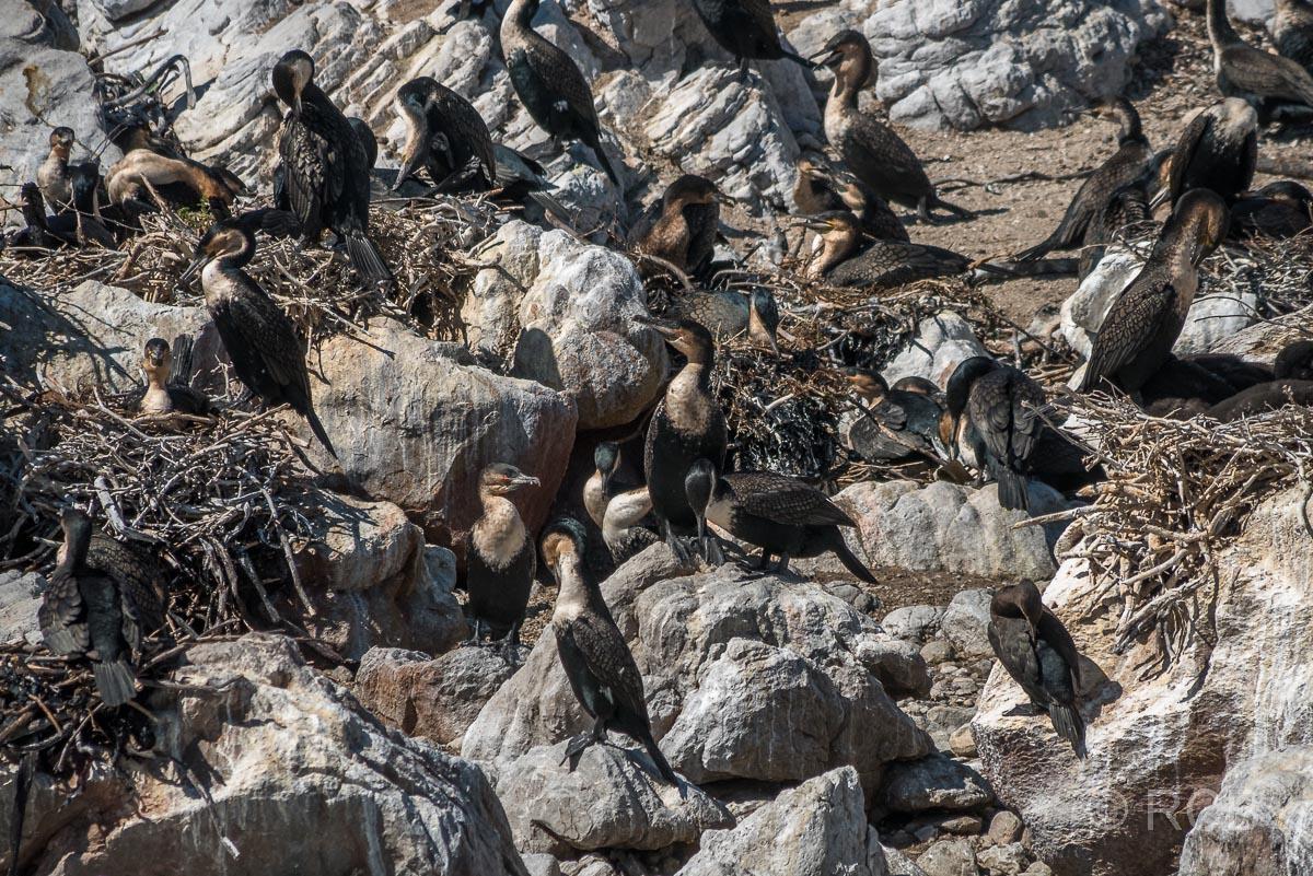 Kormorane, Stony Point Nature Reserve