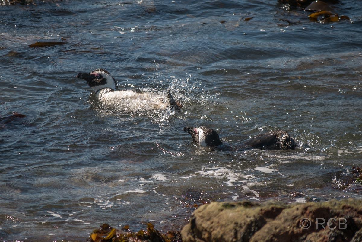 Brillenpinguine im Wasser, Stony Point Nature Reserve