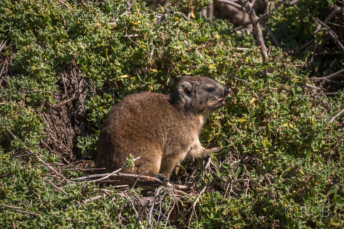 Klippschliefer,Stony Point Nature Reserve