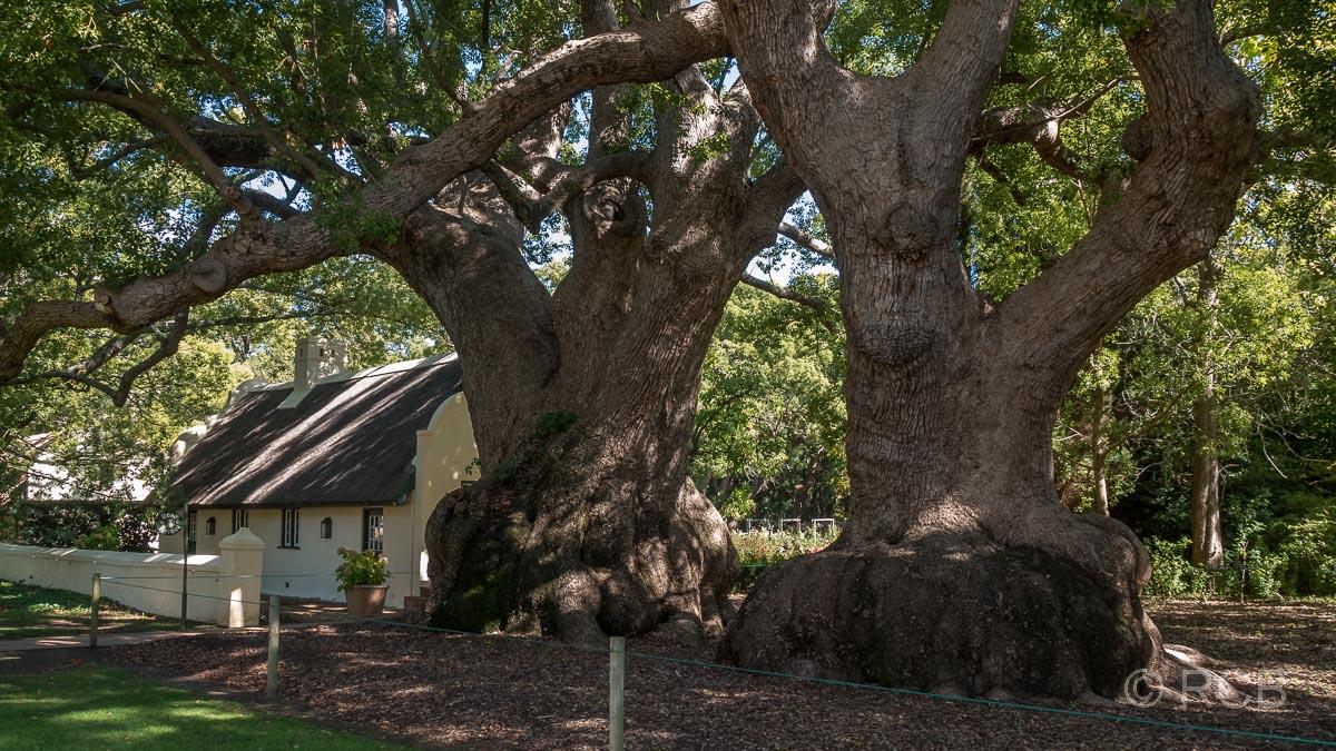 Vergelegen, historische Kampferbäume