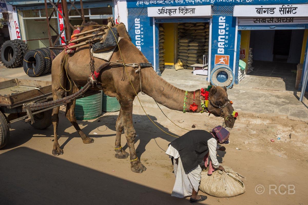 Fahrt durch Rajasthan, Mann füttert ein Dromedar