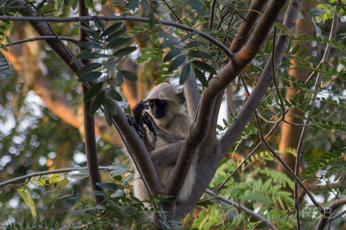 Affe im Garten unseres Hotels Ramthambore Forest Lodge