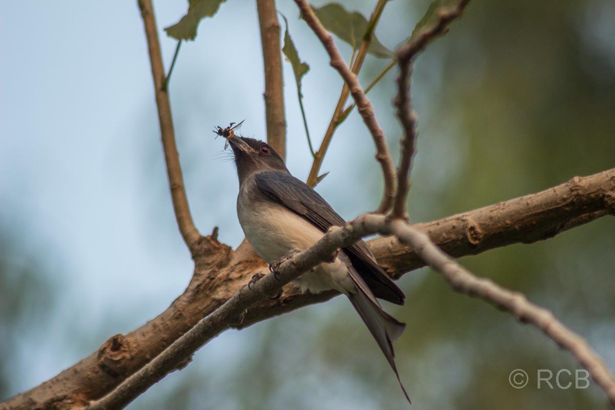 Vogel mit Insekt im Schnabel im Garten unseres Hotels Ramthambore Forest Lodge