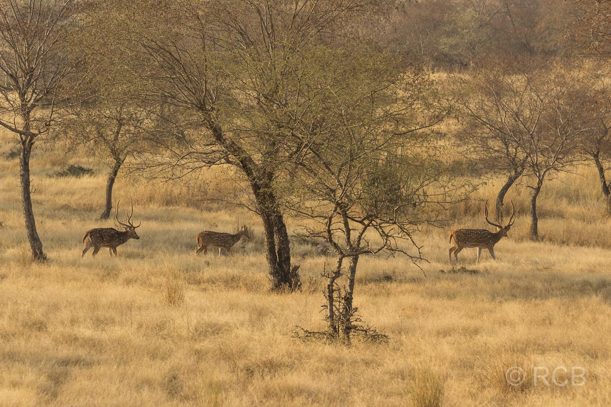 Axishirsche, Ranthambore National Park