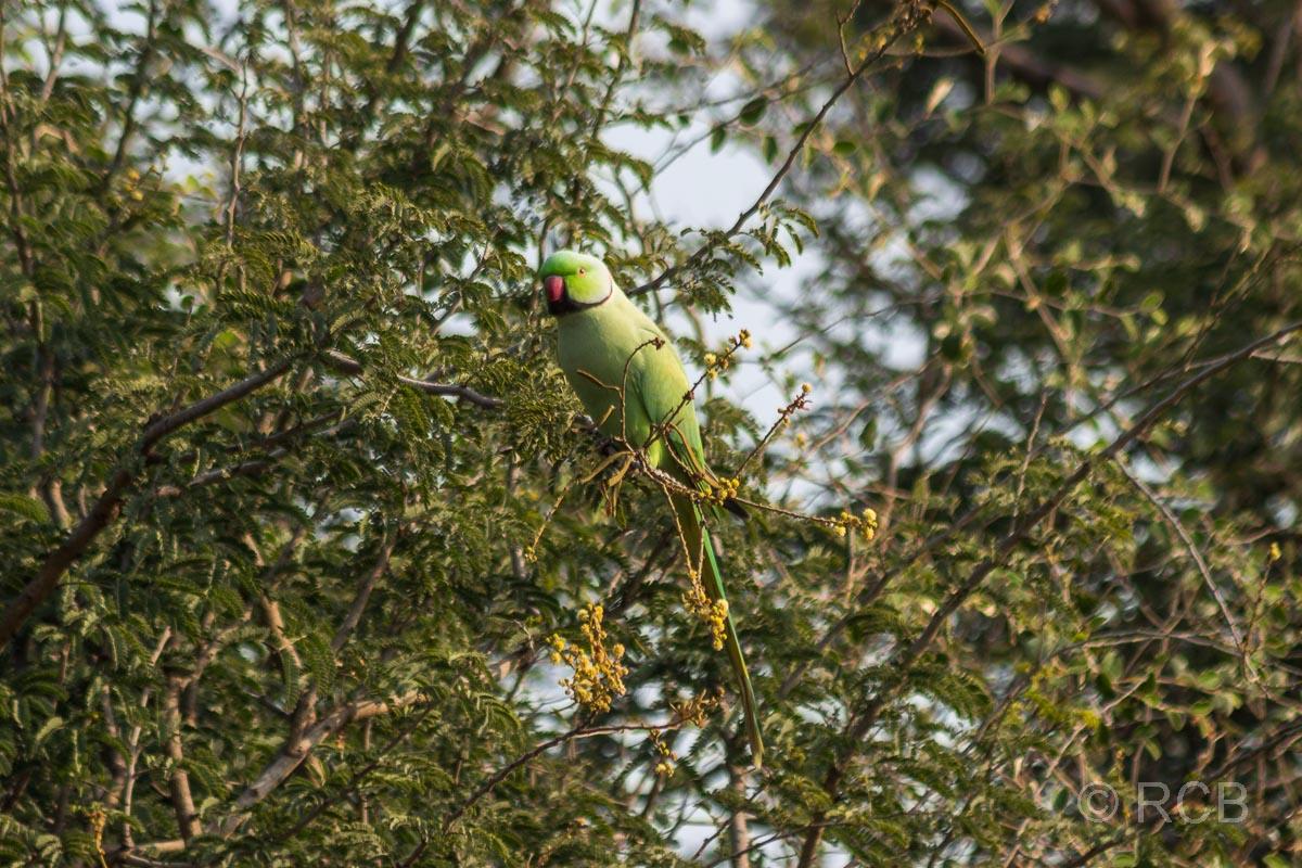 Halsbandsittich, Ranthambore National Park