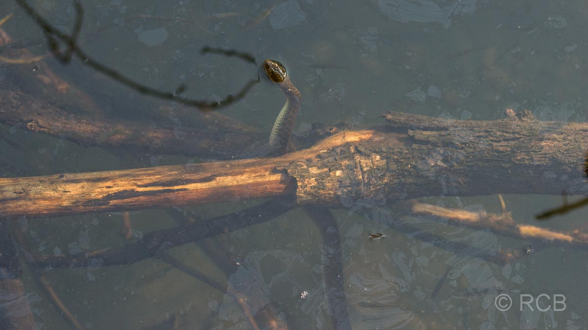 Schlange im Wasser, Ranthambore National Park