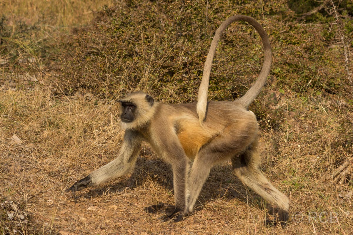Langur, Ranthambore National Park