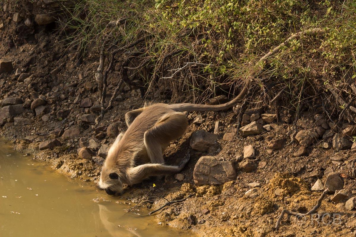 Langur beim Trinken am Wasser, Ranthambore National Park