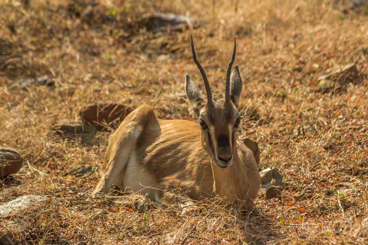 Chinkara-Gazelle, Ranthambore National Park