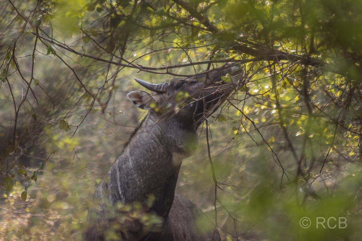 Nilgau-Antilope, Ranthambore National Park
