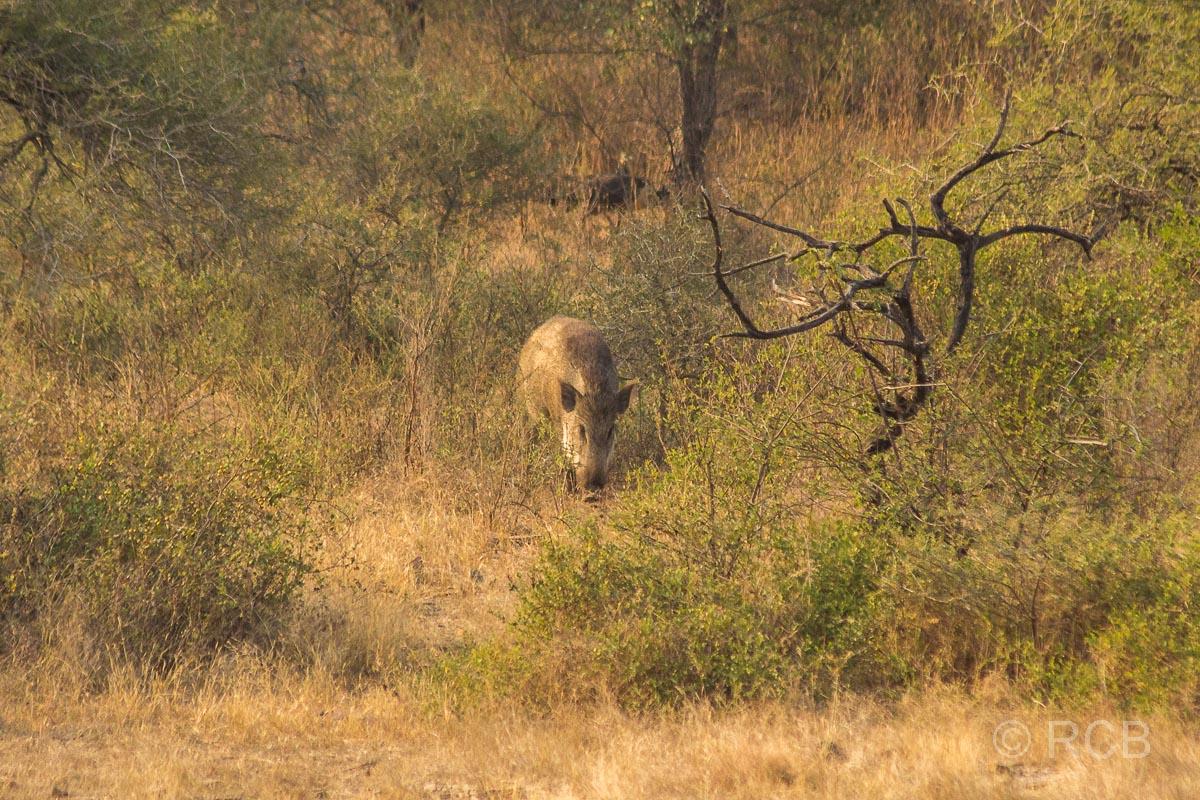 Wildschwein, Ranthambore National Park