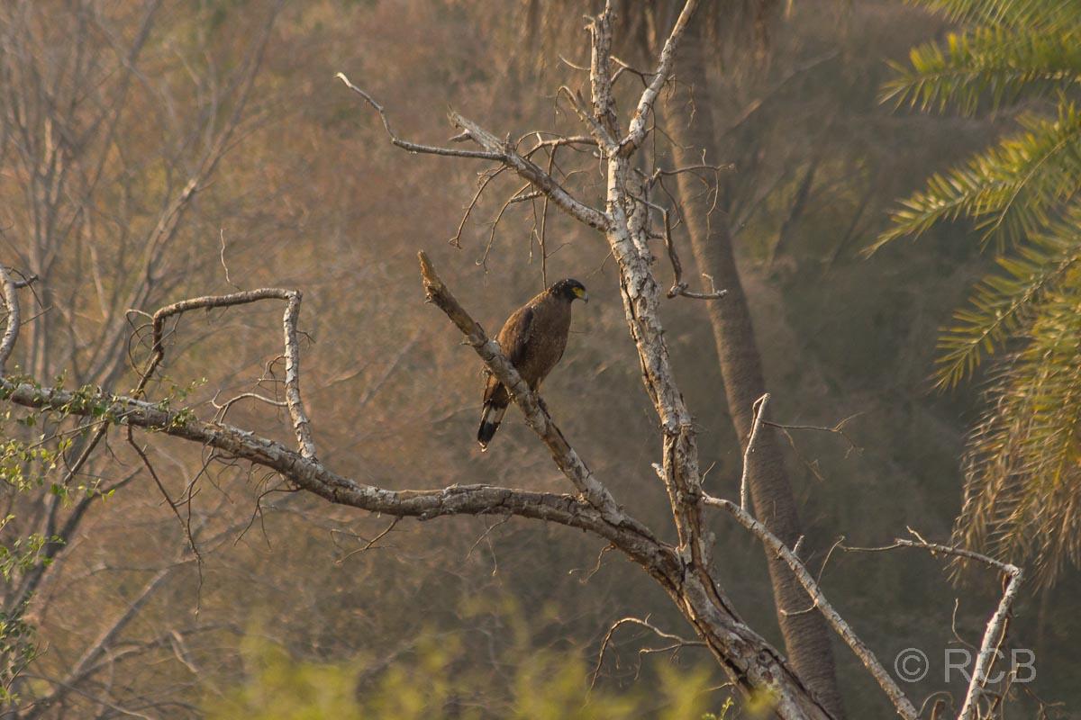 Adler im Ranthambore National Park