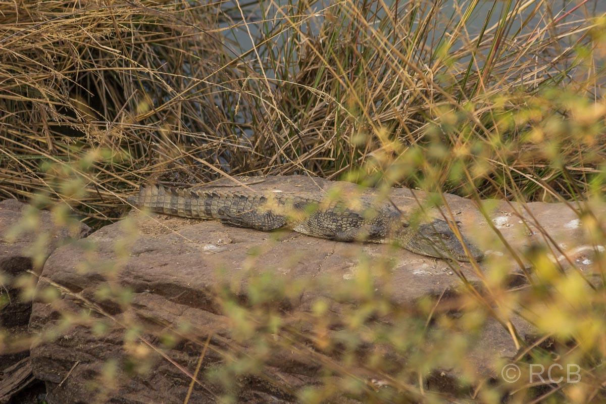 Jungkrokodil, Ranthambore National Park