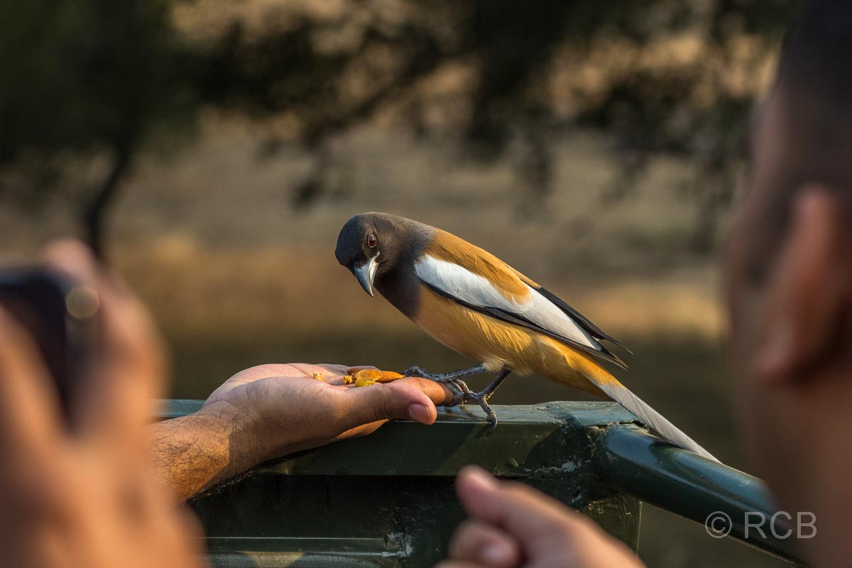 Vogel lässt sich aus der Hand füttern im Ranthambore National Park