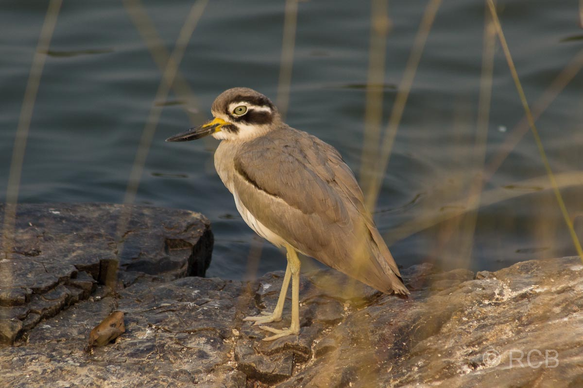 Watvogel, Ranthambore National Park
