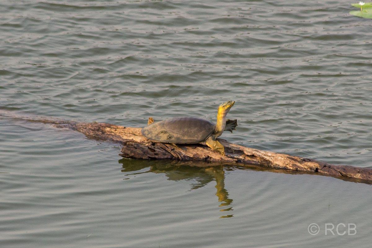 Schildkröte, Ranthambore National Park