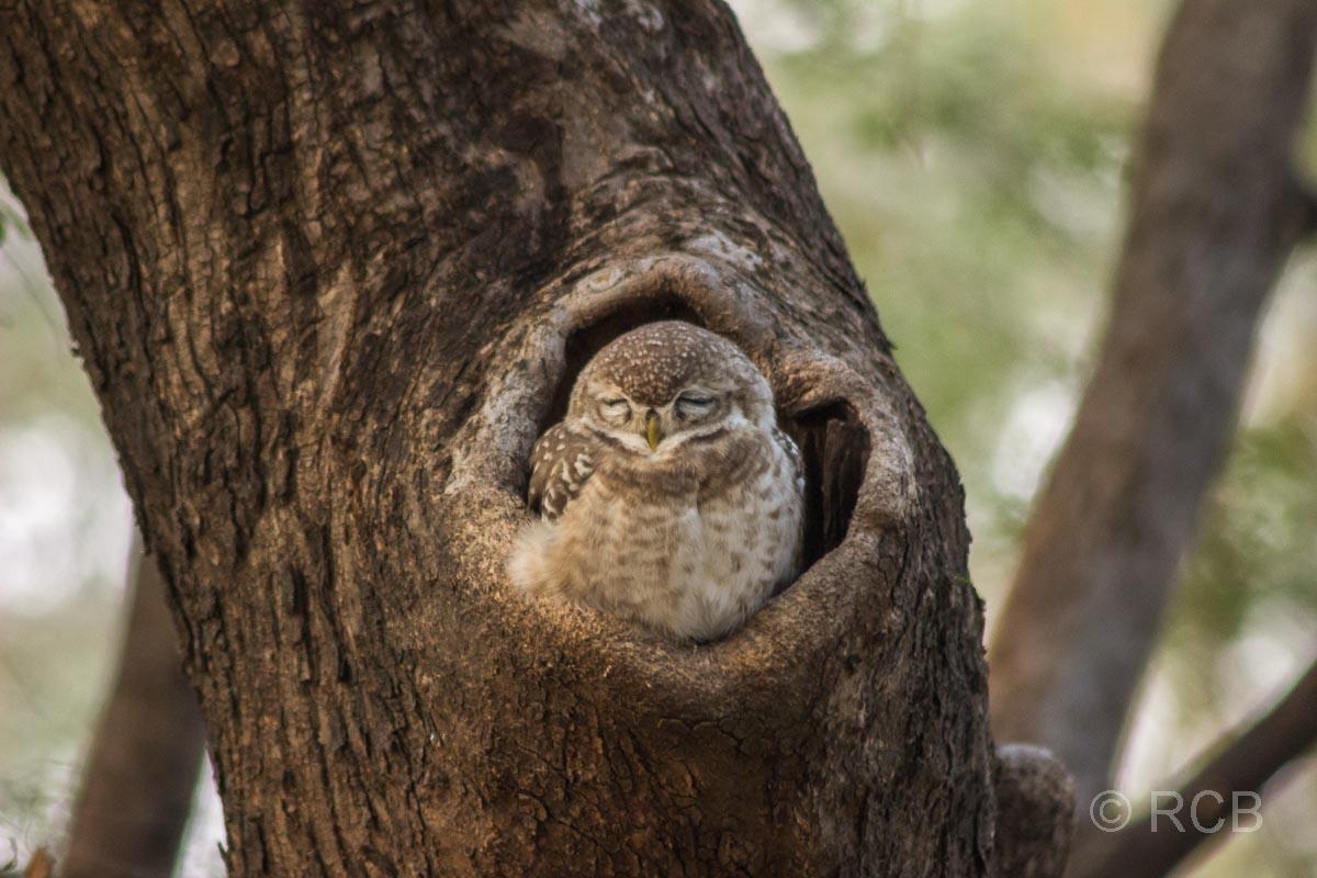 Kauz in einer Höhel im Baum, Ranthambore National Park