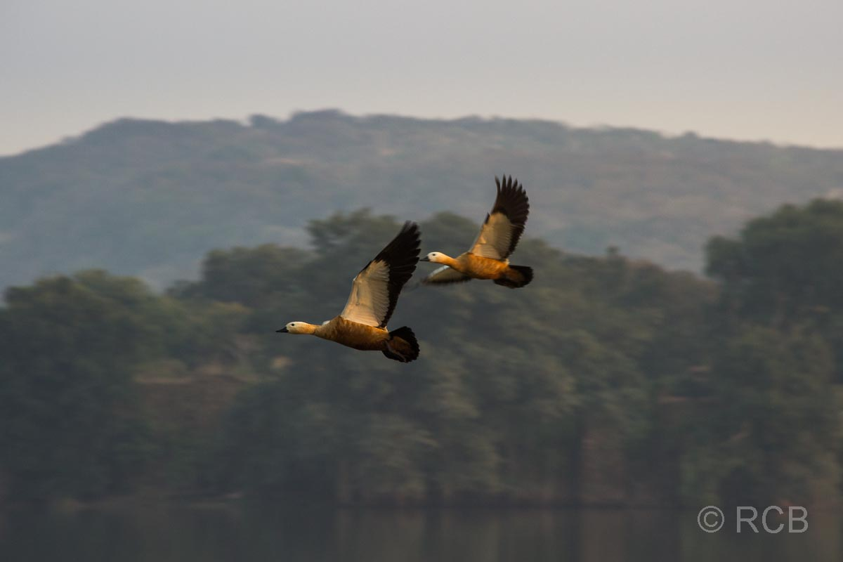 Enten im Flug, Ranthambore National Park