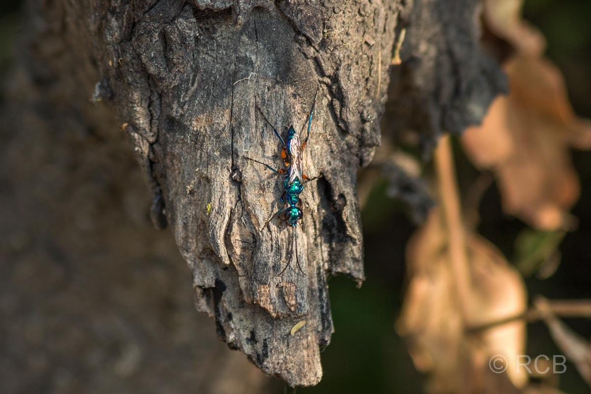 grün schillernde Ameise im Keoladeo National Park