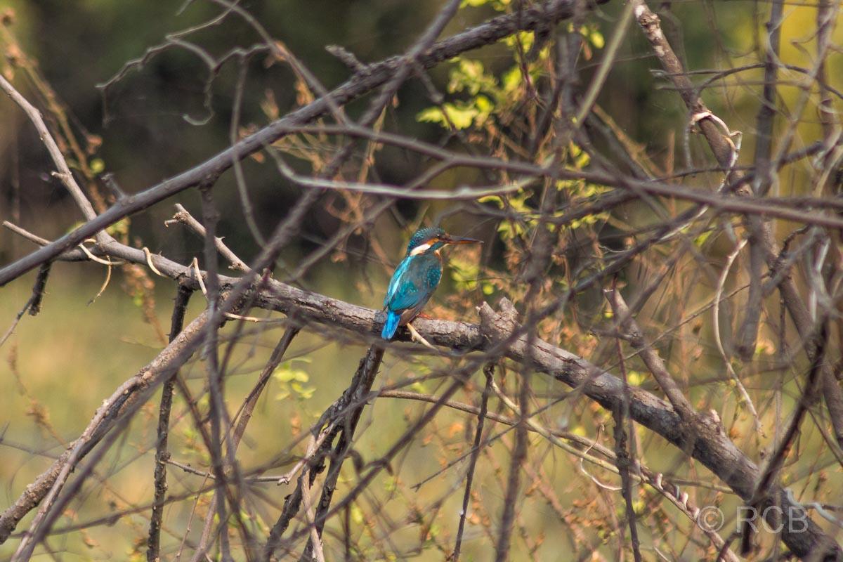 Eisvogel, Keoladeo National Park