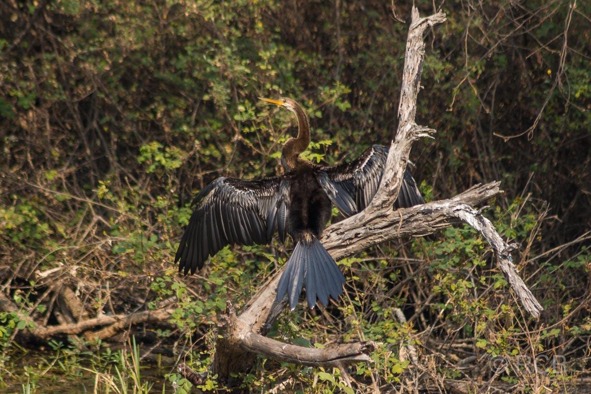 Schlangenhalsvogel, Keoladeo National Park