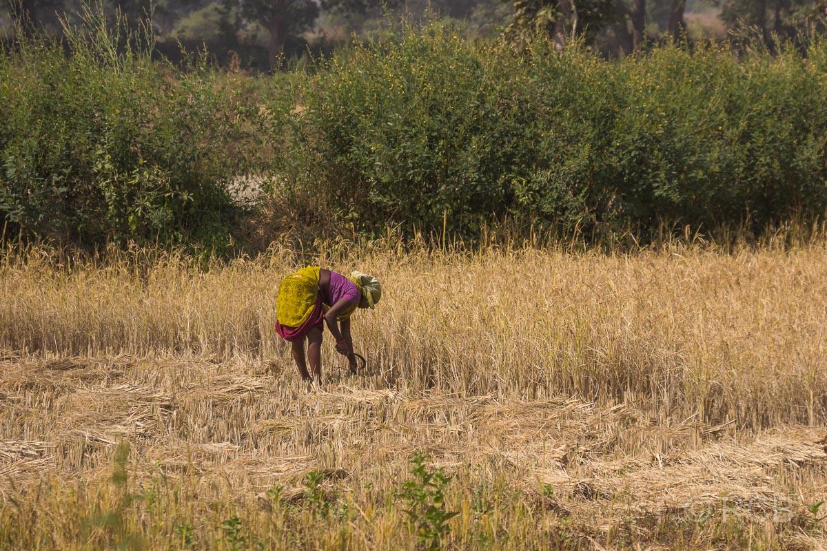 Bäuerin erntet Getreide mit einer Sichel in Madya Pradesh
