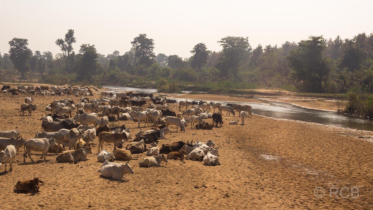 Kühe am Flussufer auf der Fahrt durch Madya Pradesh