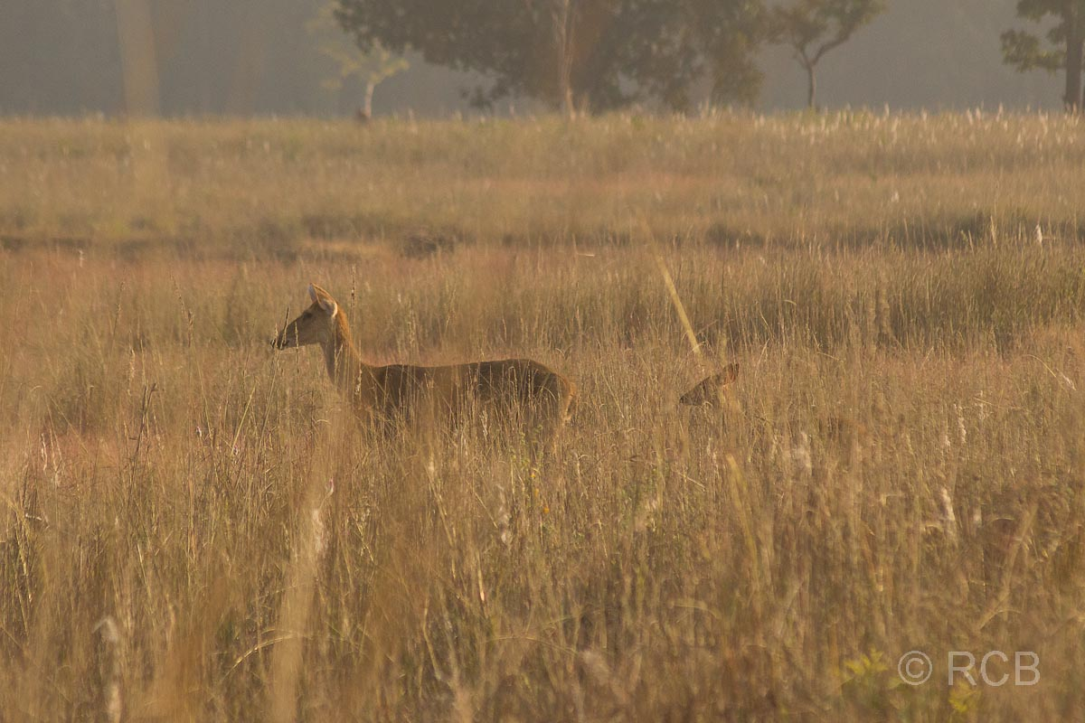 Antilopen im Kanha National Park