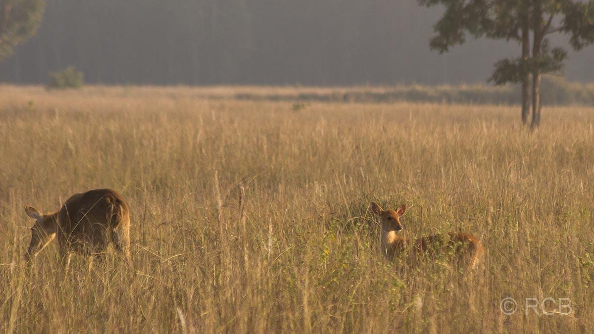 Antilope mit Jungem im Kanha National Park