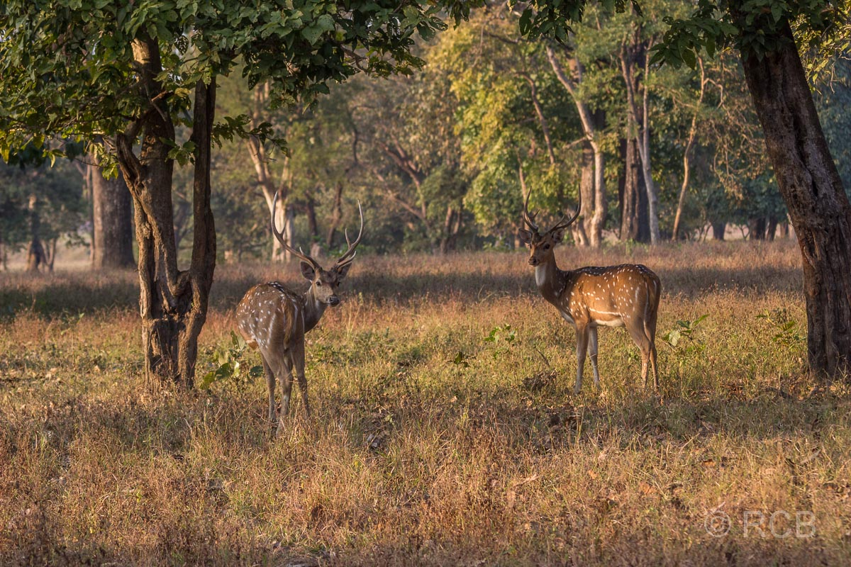 Axishirsche, Kanha National Park