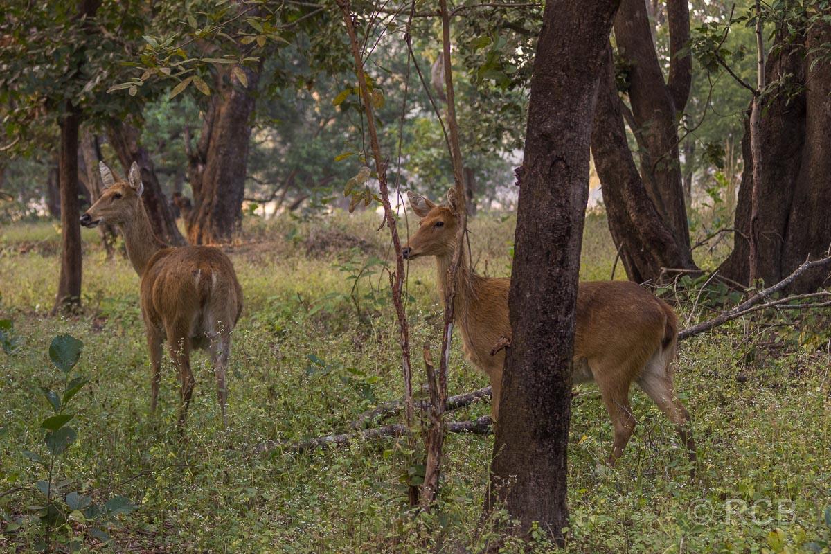 Hirschkühe im Kanha National Park