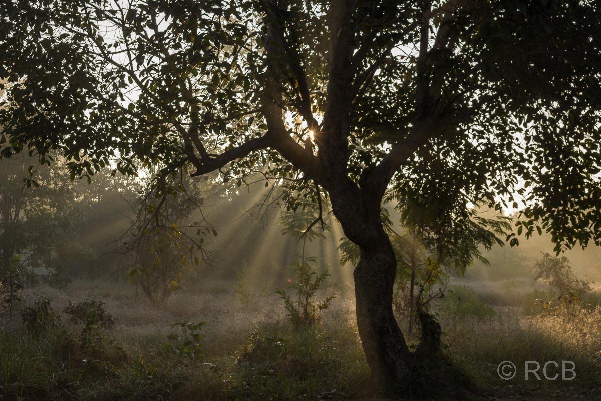 Sonne strahlt durch die Äste eines Baumsin der Nähe des Kanha National Park