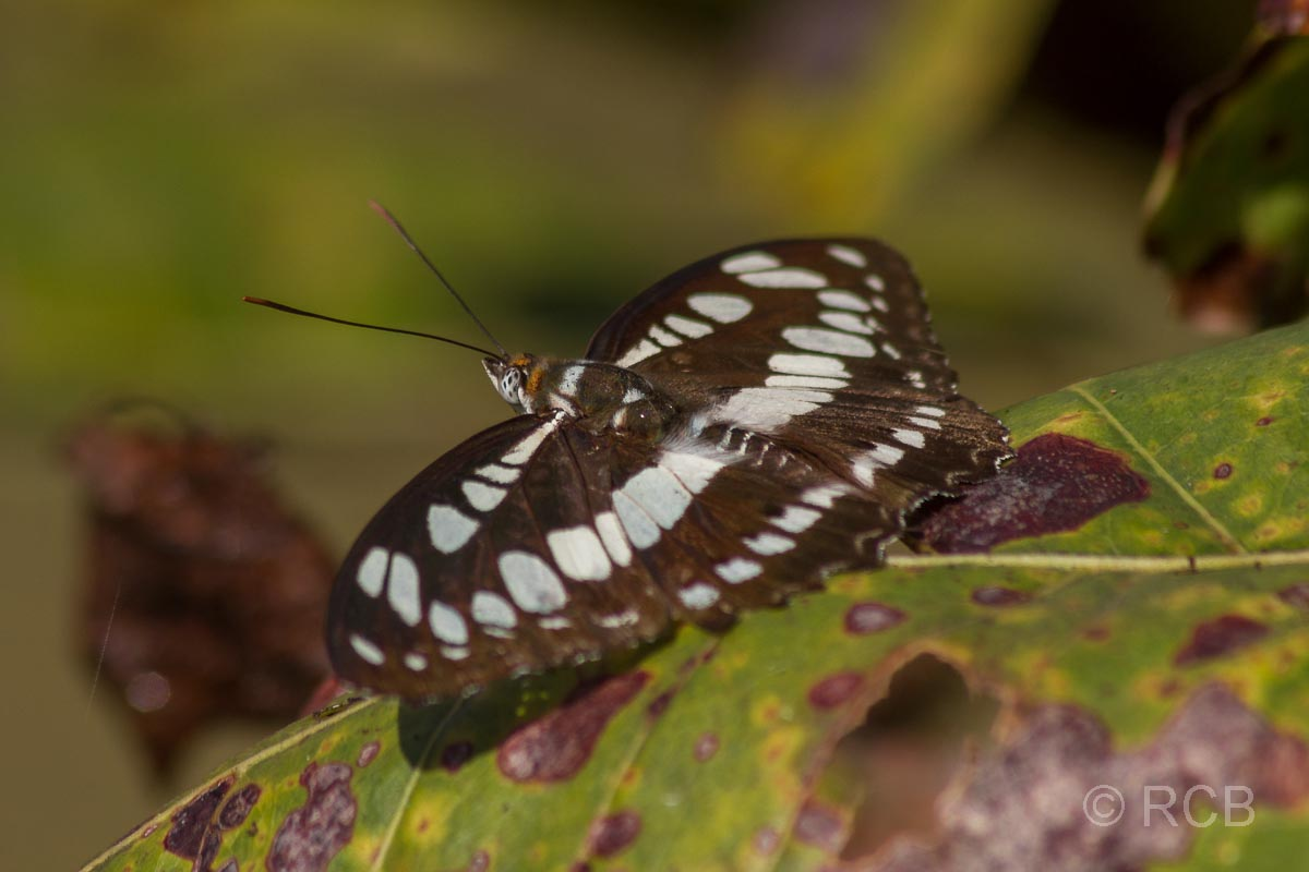 Schmetterling, Kanha National Park