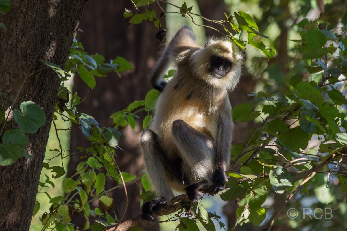 Langur, Kanha National Park