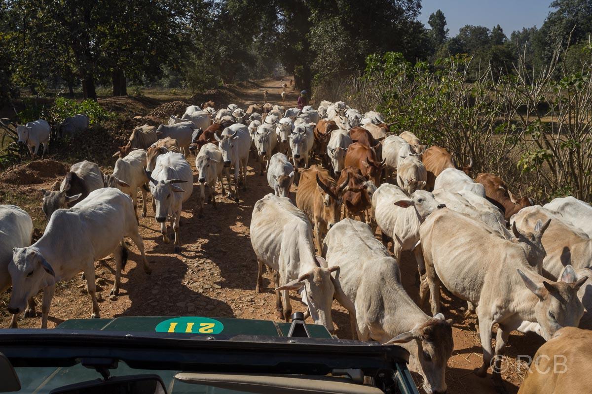 Kühe laufen um einen Jeep herum in der Nähe des Kanha National Park