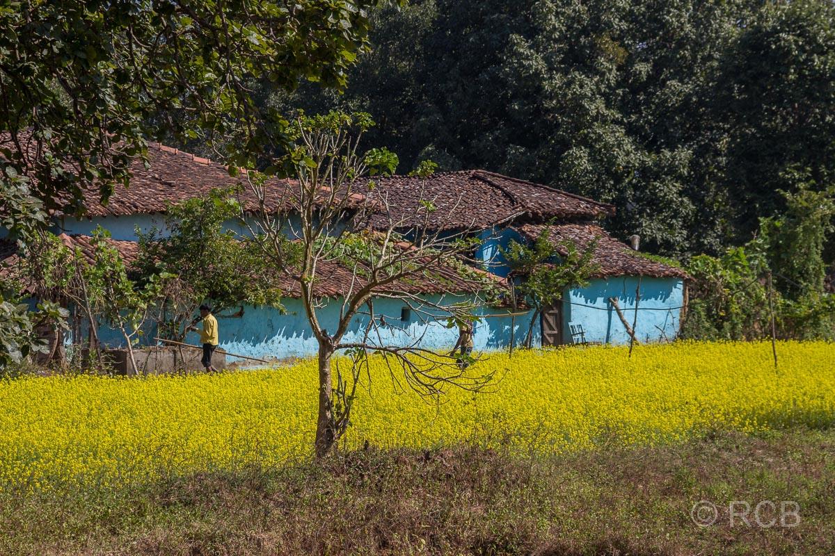 blaues Haus hinter gelbem Rapsfeld in der Nähe des Kanha National Park