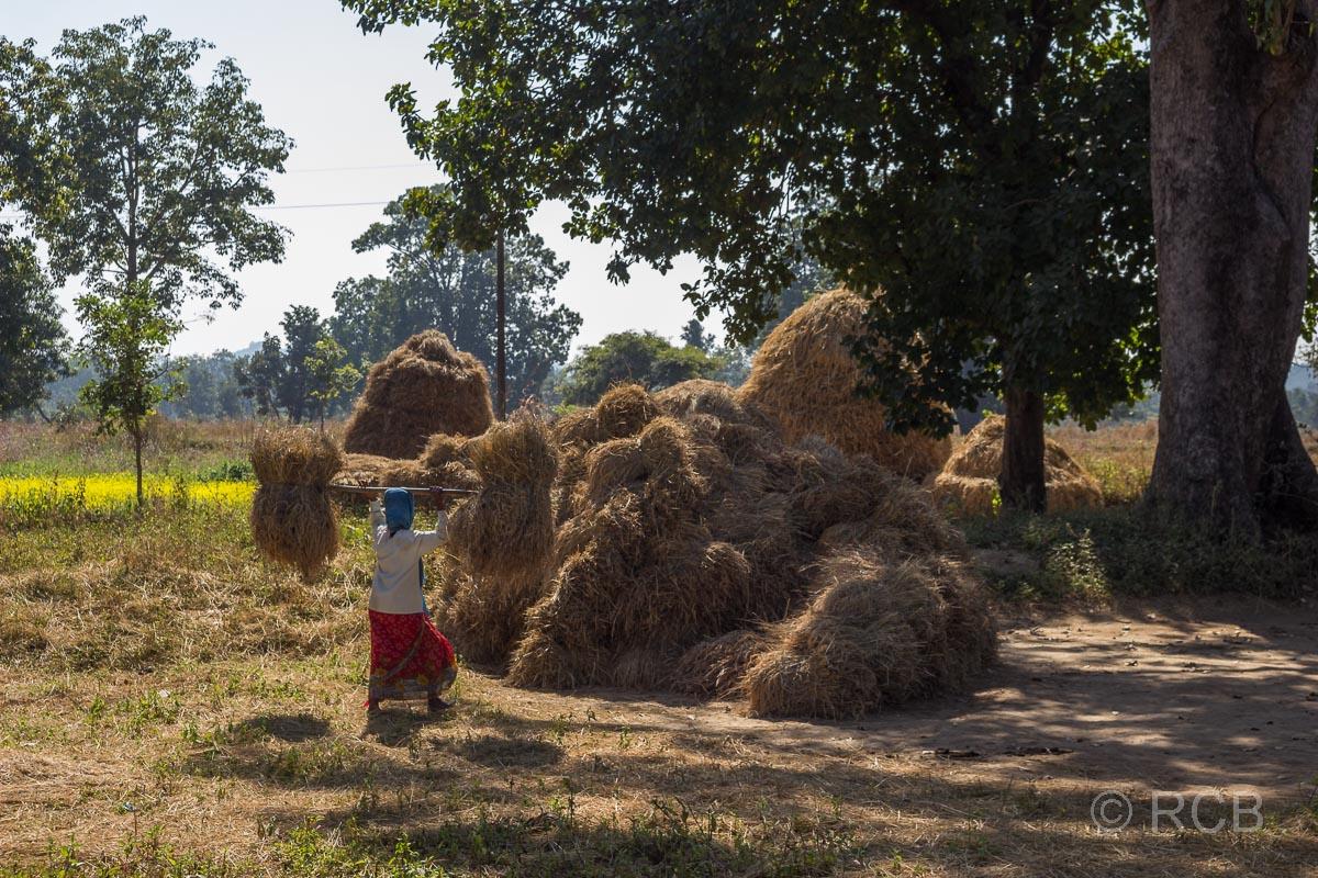 Mann stapelt Heu in einem Dorf in der Nähe des Kanha National Park