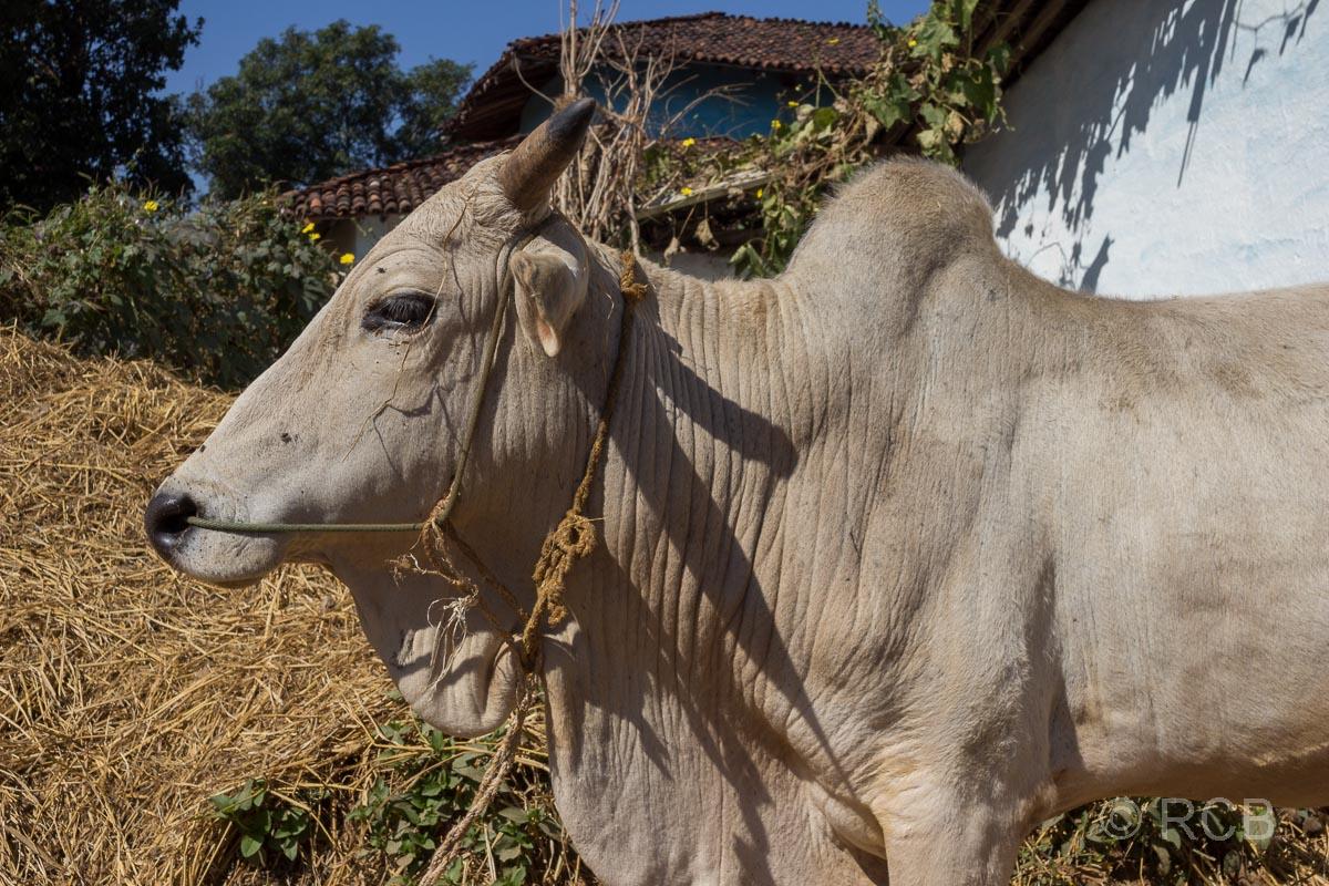 Zebu in einem Dorf in der Nähe des Kanha National Park