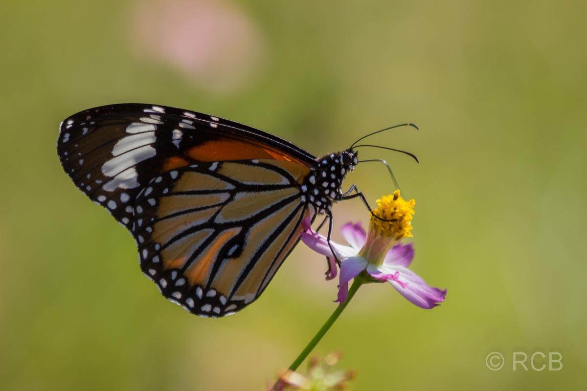 Schmetterlingin der Nähe des Kanha National Park