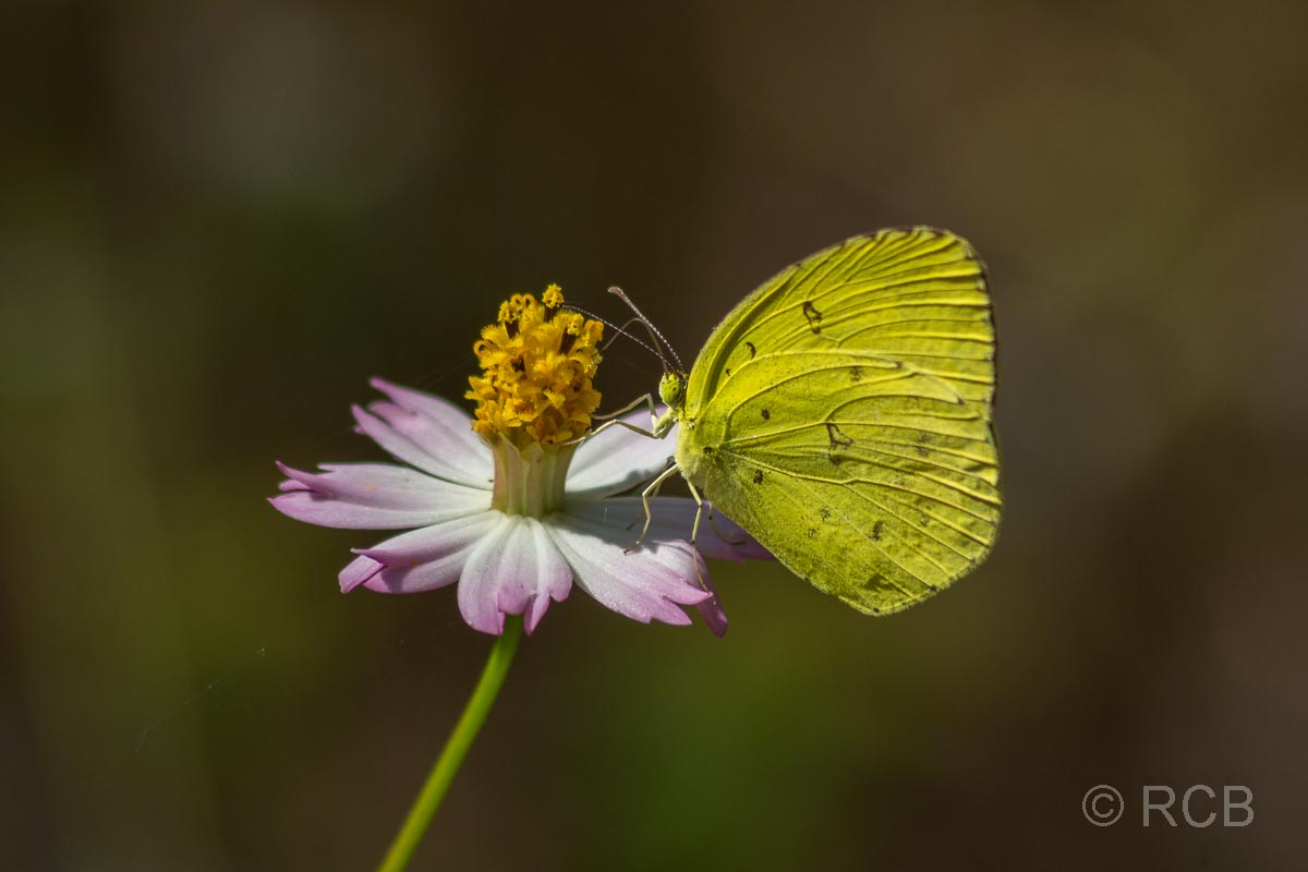 Schmetterling in der Nähe des Kanha National Park
