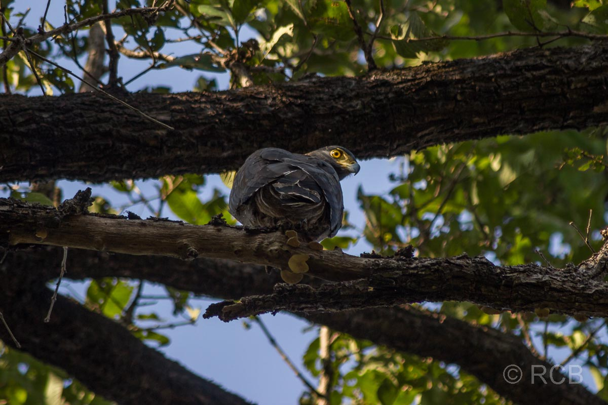 Adler, Kanha National Park