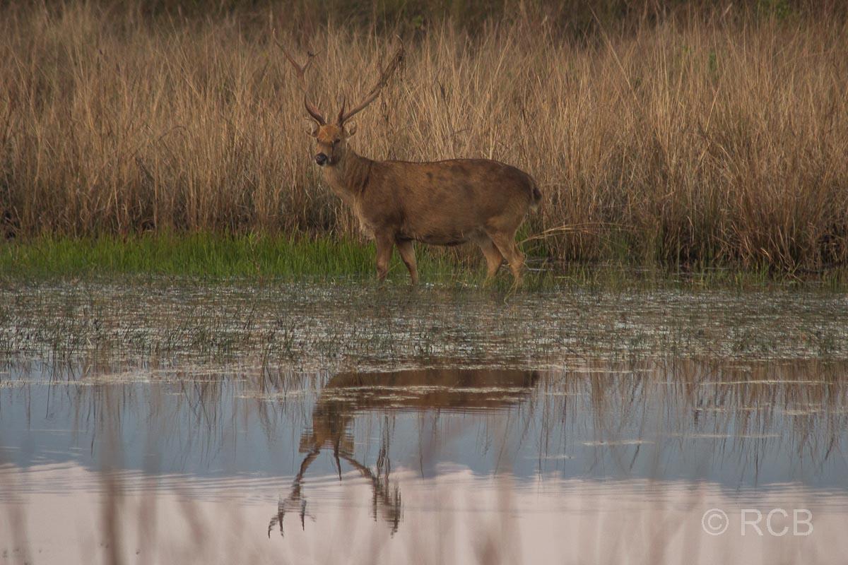 Barasingha-Hirsch, Kanha National Park