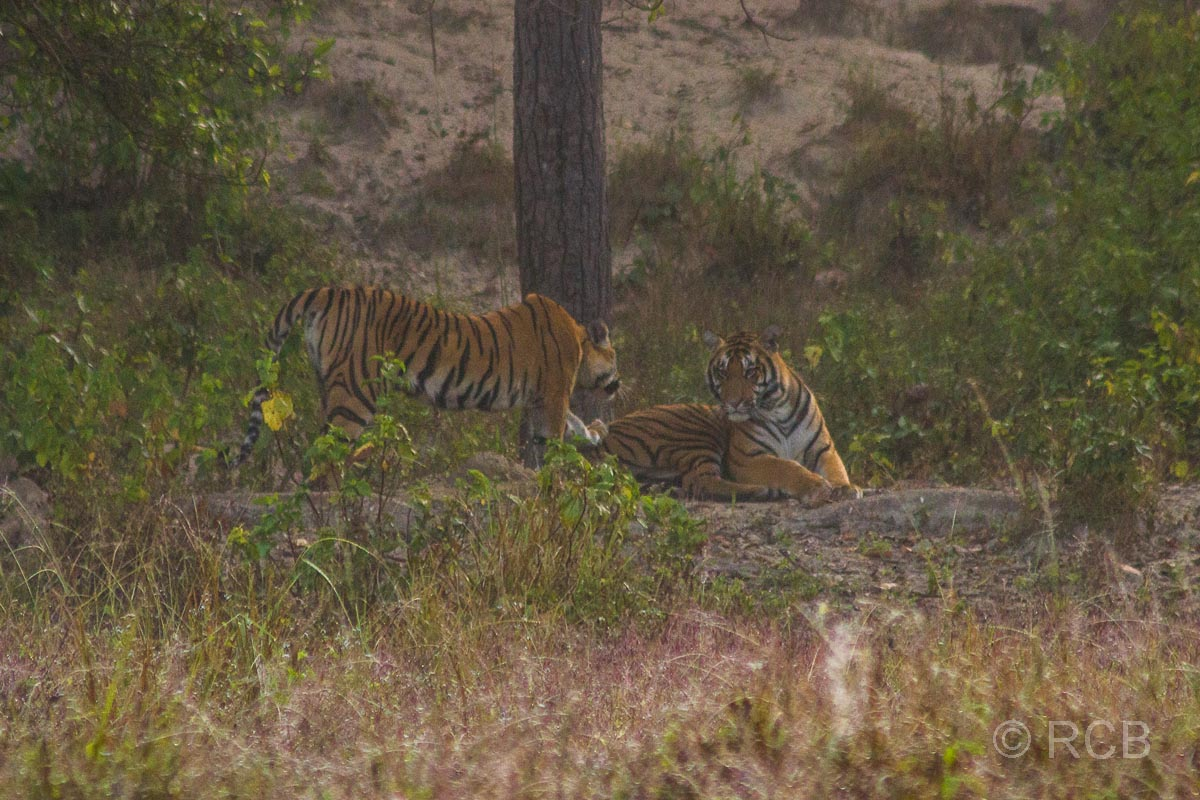 Tiger, Kanha National Park