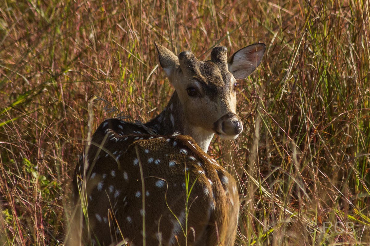Axishirsch, Kanha National Park